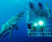 Cage Against Rage Tour 2017. Cage dive with great white sharks in Isla De Guadalupe, Mexico