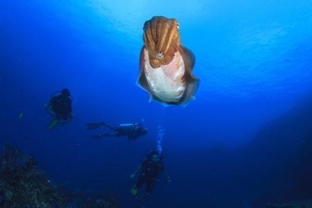Indonesia cuttlefish